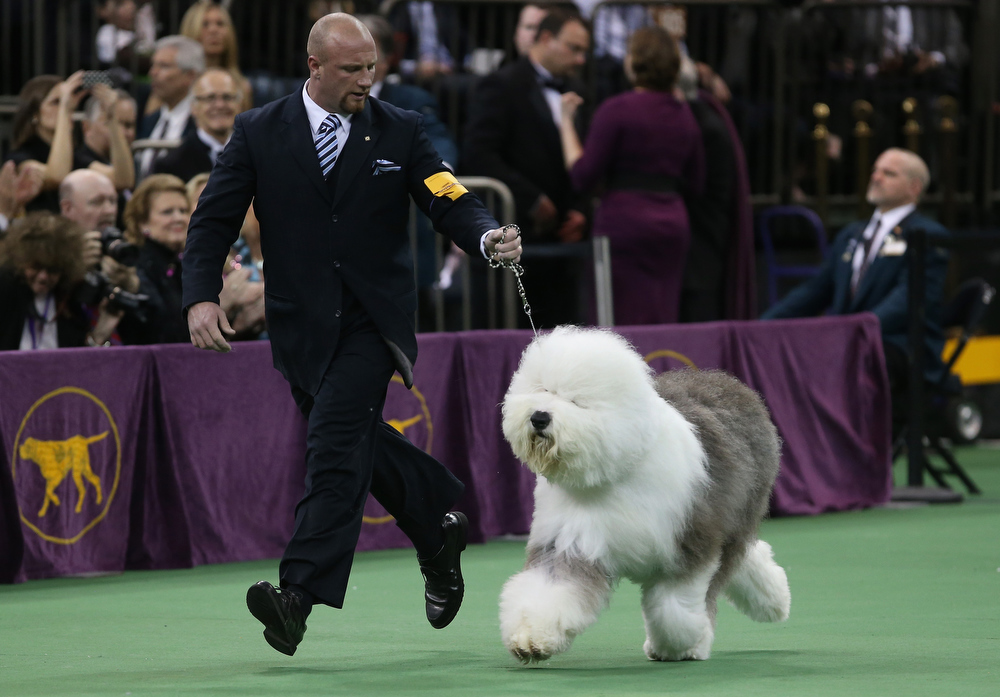 Description of . Old English Sheepdog Bugaboo's Perfect runs during the 137th Westminster Kennel Club Dog Show on February 12, 2013 in New York City.  A total of 2,721 dogs from 187 breeds and varieties competed in the event, hailed by organizers as the second oldest sporting competition in America, after the Kentucky Derby.  (Photo by John Moore/Getty Images)