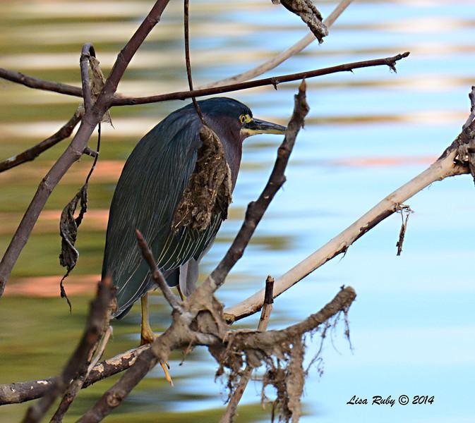Green Heron - 1/4/14 - Golf Course from Pomerado Road, CBC