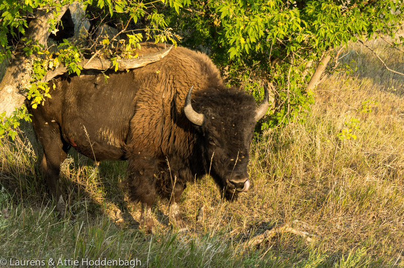 Buffalo, Theodore Roosevelt Nat'l Park, ND
