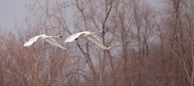 2011 swan migration aylmer (28 of 51).jpg