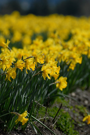 Stock Images of Daffodil Farming
