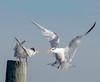 royal tern squabble