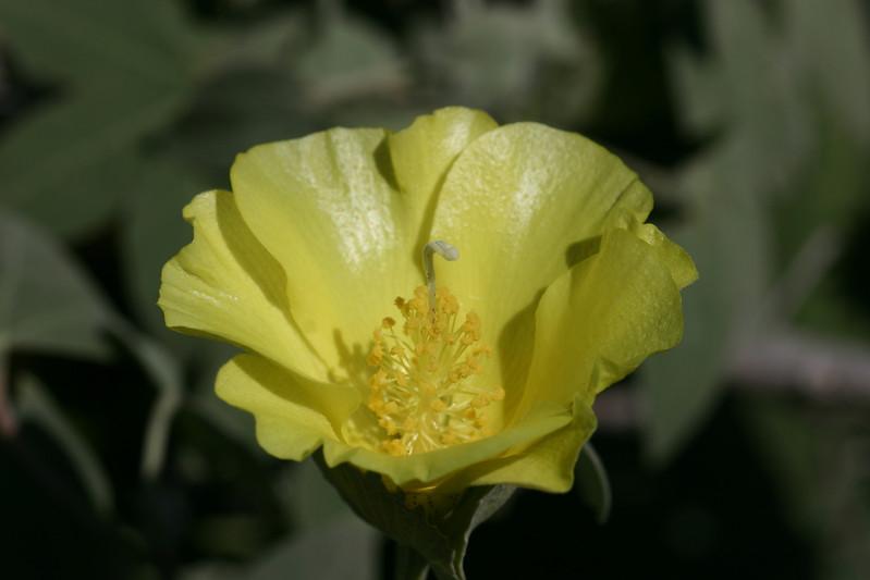 Gossypium tomentosum pt_20070225_000026.jpg