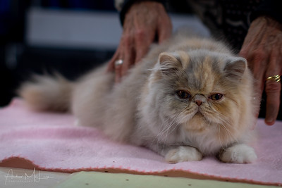 Griffith Cat Show