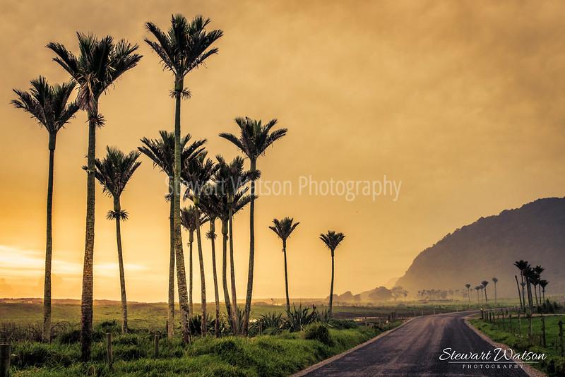 Nikau Palms on a hazy sunset evening on Kohaihia Road between Karamea and the Heaphy track car park