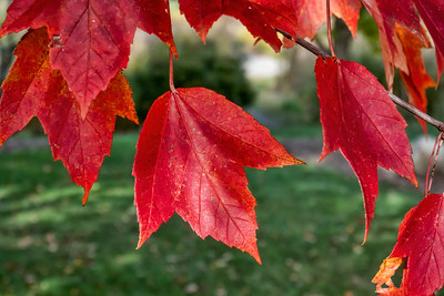 Maples in fall, Acer rubrum, red maple