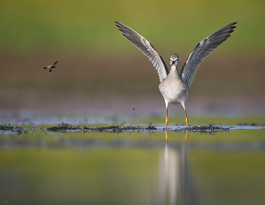 Shorebird Photography Discussion