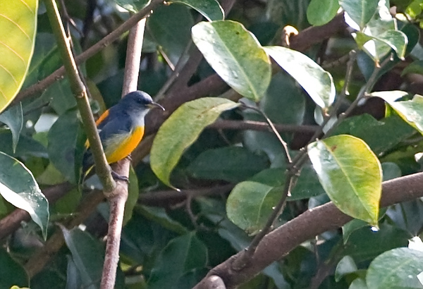 Orangebellied Flowerpecker