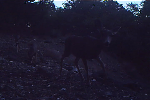 Mule Deer Doe 544 PM.AVI