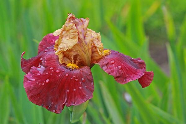 Presby Iris Garden 2011