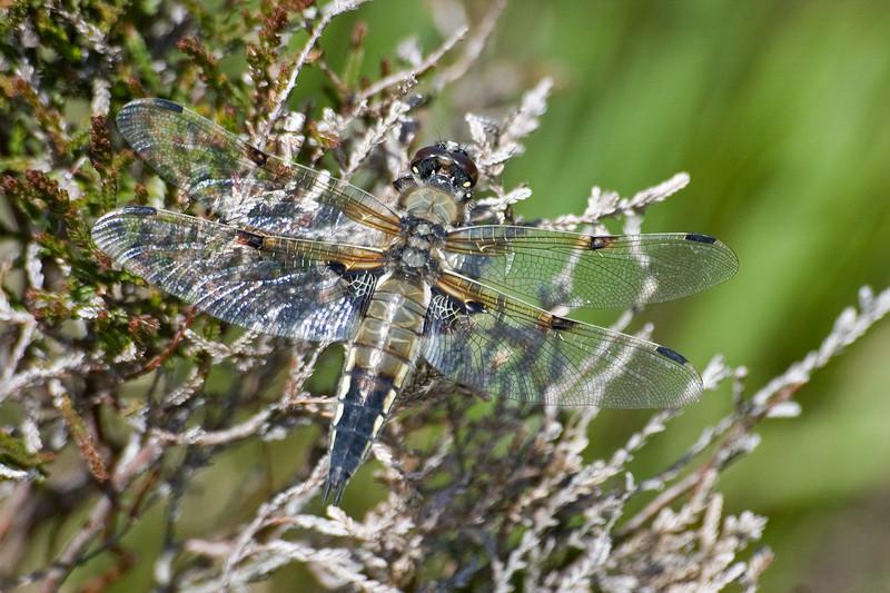 Scotland Dragonfly 6 x 4 300 dpi resize 7726.jpg