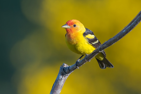 Tanagers, Grosbeaks and Buntings