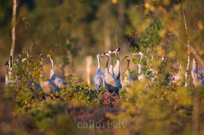 Dzērvju bars purvā rudens migrācijas laikā / Common Cranes rest in the marsh during Autumn migration