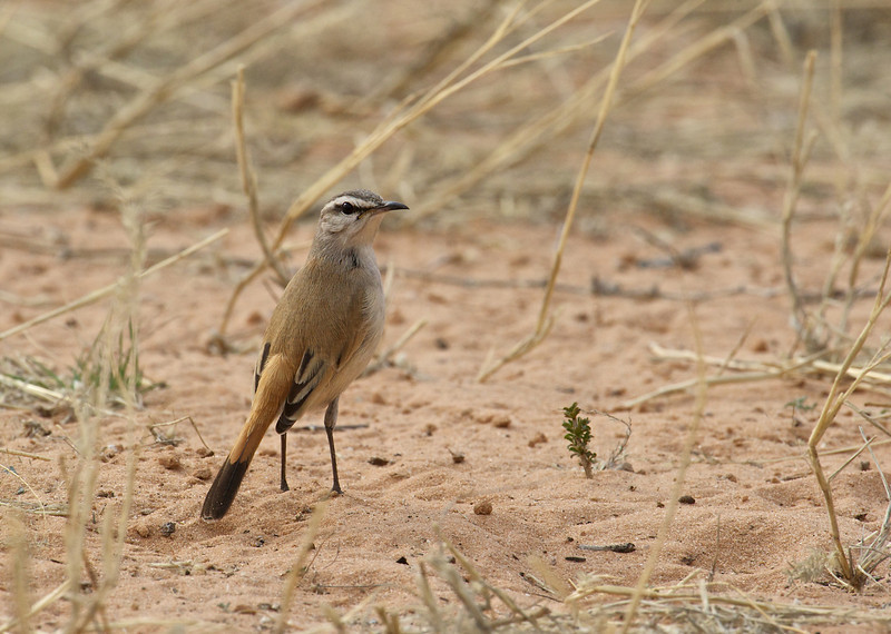 White-browed scrub robin, Kgaligadi Transfrontier Park, South Africa