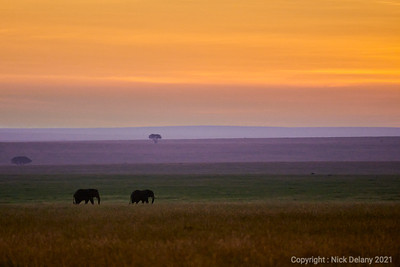 Elephant Serengeti Dawn
