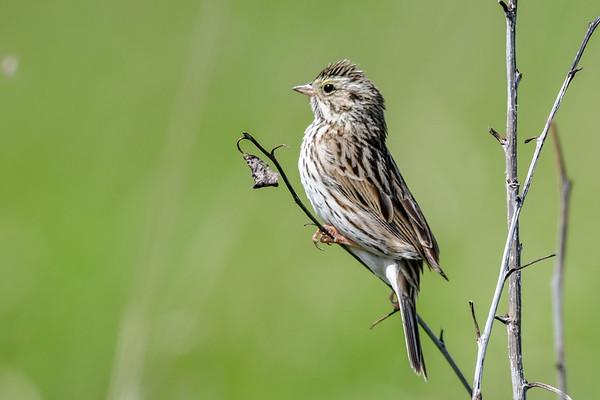 6-11-18 Savannah Sparrow