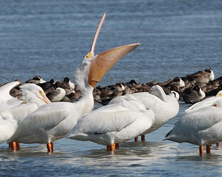White Pelican - Suder Park, Corpus Christi