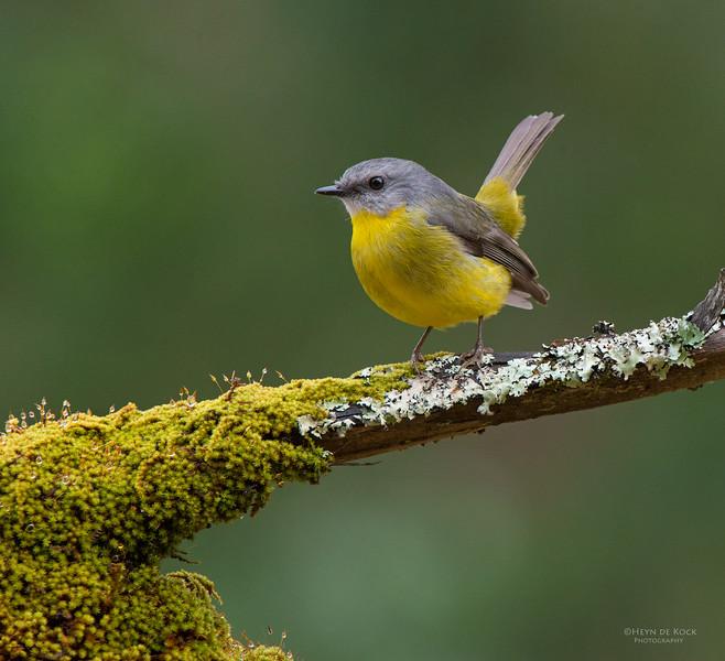 Eastern Yellow Robin, Bangalee, NSW, Jul 2014.jpg