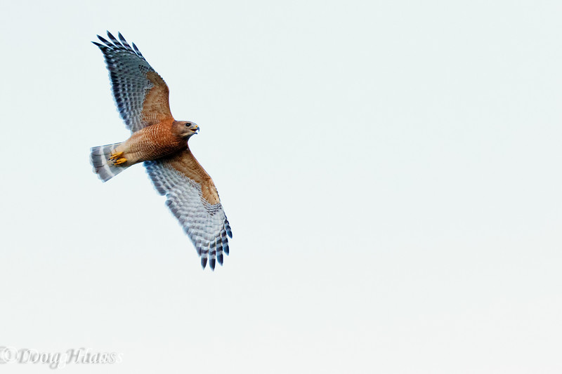 Red-shouldered hawks Buteo lineatus