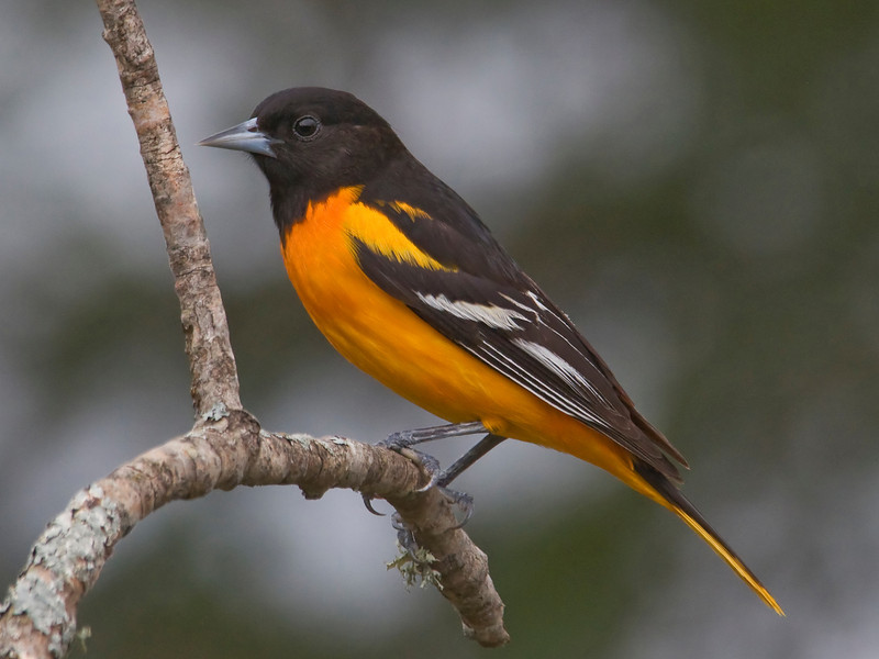 Oriole - Baltimore - male - Dunning Lake, MN - 07