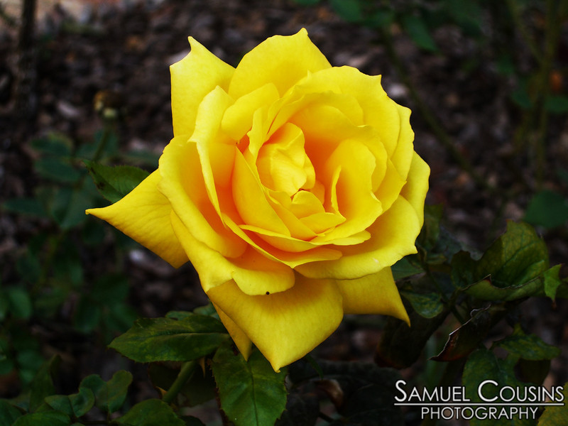 A bright yellow rose growing in a garden in Spain