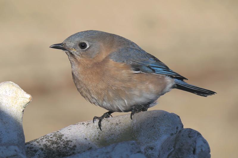 sx50_bluebird_boas_010.jpg