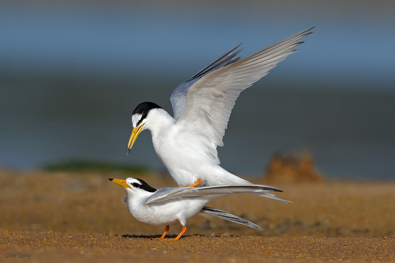 Little Tern mating MASTER.jpg