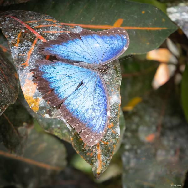Blue Morpho (Morpho menelaus)