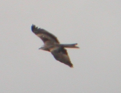 Haarahaukat (Black and Red Kite)