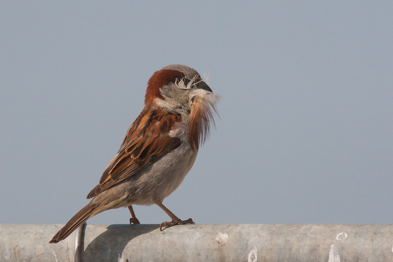 House Sparrow - Mountain View, CA, USA