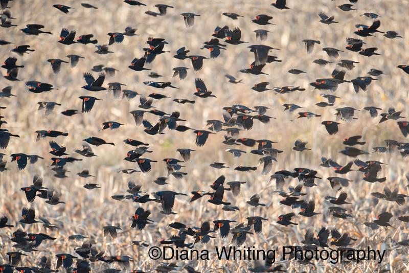Red-winged Blackbird Migration.jpg