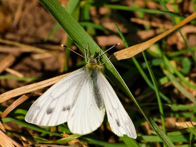 Pieridae - Whites