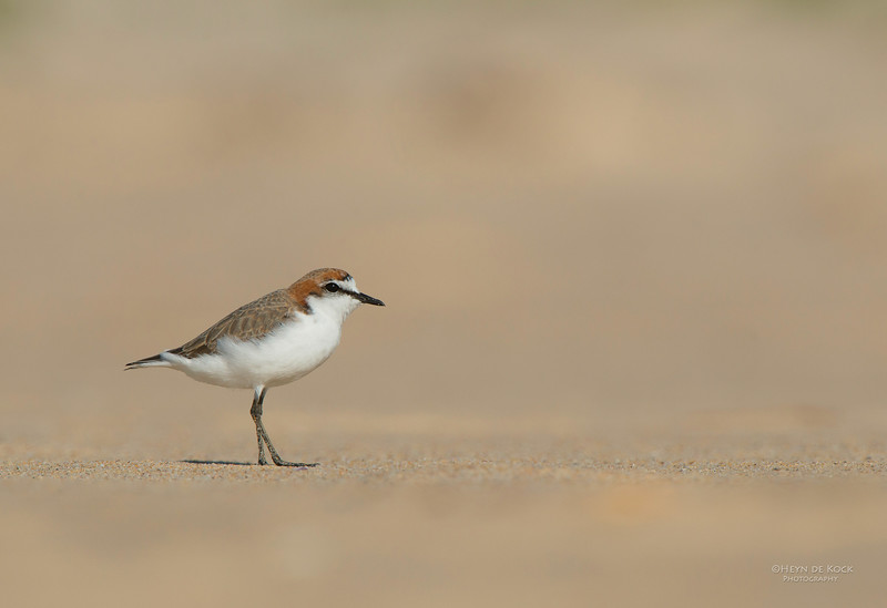 Red-capped Plover, Lake Conjola, NSW, Aus, Sept 2013-2.jpg