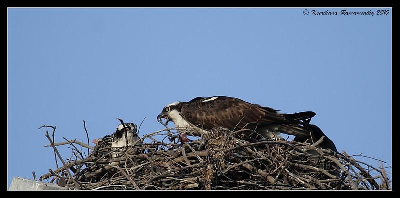 Ospreys feeding, Robb Field, San Diego River, San Diego County, California, May 2010