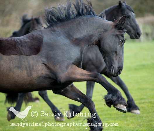 Friesian Frolicks Apr 2015