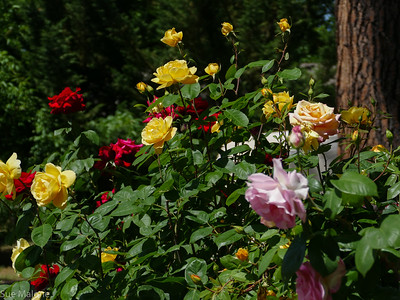 06-07-2018 Sunset House Roses and Cherries