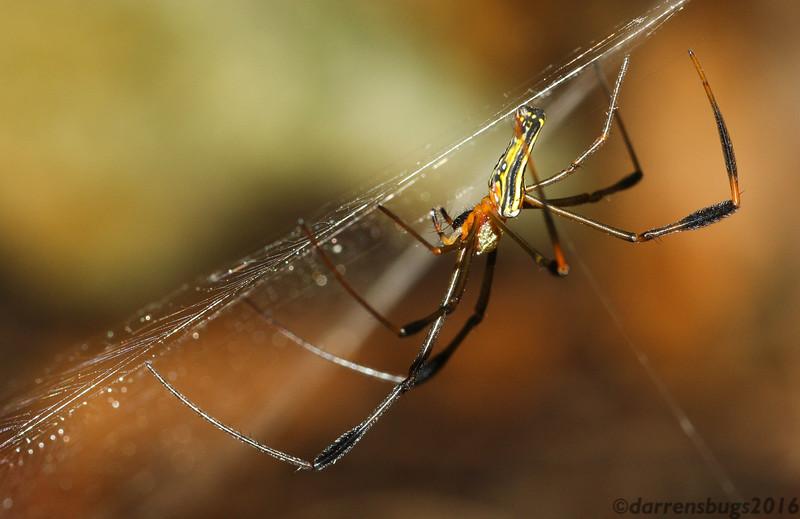 Golden silk orb-weaver (Nephila sp.) from Koh Chang Island, Thailand.