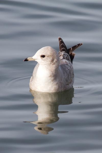 "Mew Gull - Juvenile - Note the ""scissors"" of the primaries"
