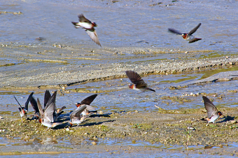 Cliff Swallows at the Sand Bar ~ This shot shows the swallows gathering to get mud for nest-building.  They were very busy, dipping into the mud, flapping their wings above their heads.  They would get a good beak full of mud and fly off to the nesting site.