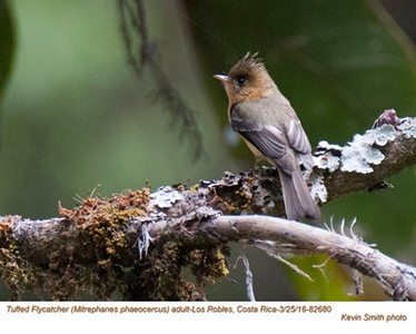 Tufted Flycatcher A82680.jpg