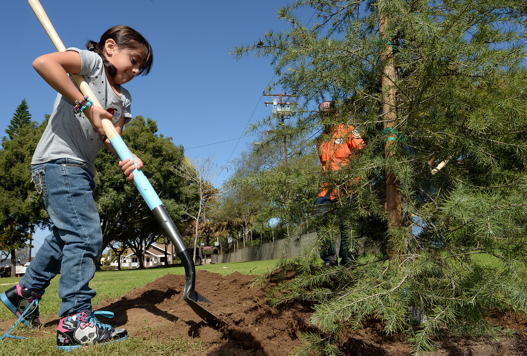 . Ana Marquez, 7, helps to plant a tree during the Annual Arbor Day celebration at Michigan Park in Whittier on Thursday March 13, 2014. Children were able to help plant trees, see demonstrations by city workers and see information booths from area conservation groups. (Staff Photo by Keith Durflinger/Whittier Daily News)