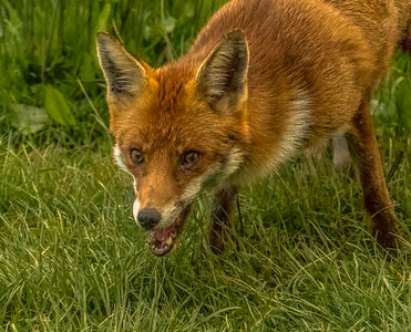 Foxes 3rd May 2016