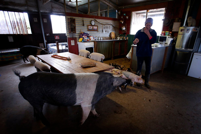 . Farmer Lindy Haynes walks out of her kitchen past some of the more than 25 pigs she lives with in her home on her property known as \'Pigsville\' in the New South Wales town of Mudgee, located 250 km (155 miles) west of Sydney March 2, 2013. Haynes believes that all farm animals should be \'free range\', and allows the pigs, chickens, cats and dogs on her farm to move freely in and out of her house, with most sleeping inside at night. Picture taken March 2, 2013.    REUTERS/David Gray