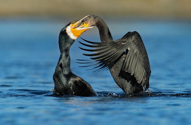 Great Cormorant feeding.jpg