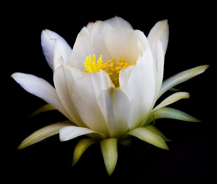 Cactus Flowers 5-18-2017e.jpg