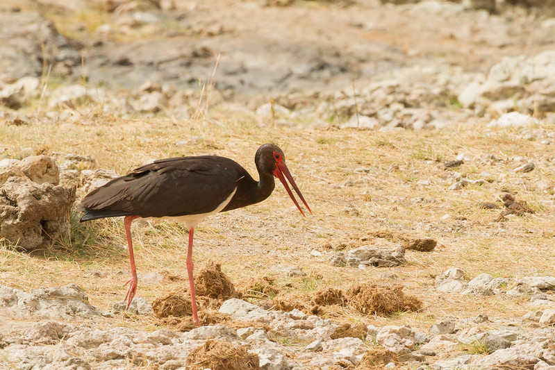 Black Stork - Tarangire National Park, Tanzania