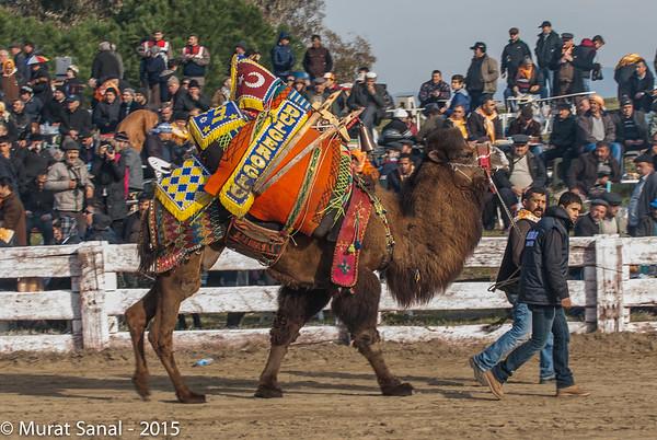 Selçuk   Efes Camel Wrestling Festival
