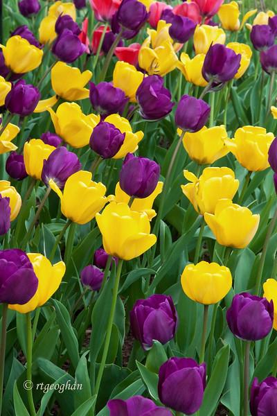 April 15_Tulip Garden_0894.jpg