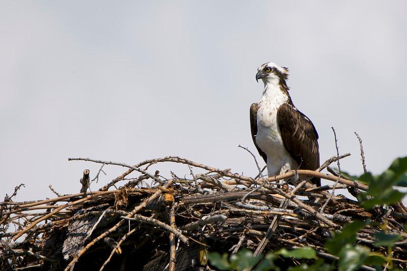 Osprey at Okanagan Lake