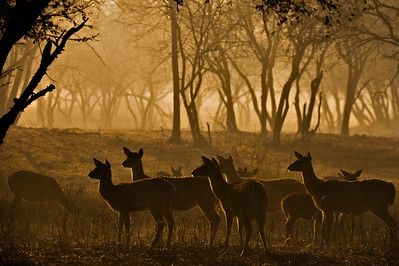 Spotted deer at dawn